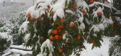 Абхазия. Неубранный урожай