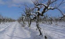 виноград снег мороз