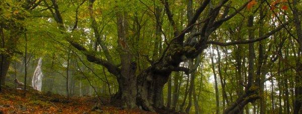 буковый лес чатырдага