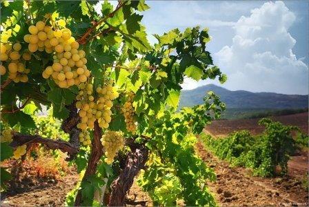 виноград крыма