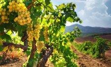 виноградник крым