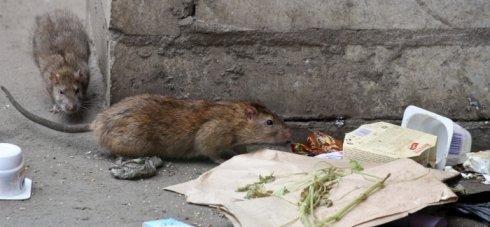крысы севас