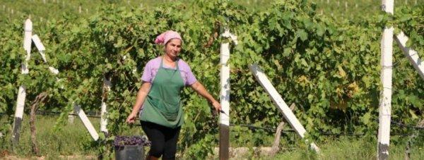 виноградники севас